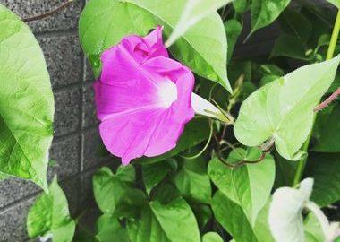 今年もようやくアサガオが咲きました。サムネイル
