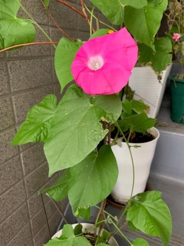 今年もアサガオが咲きました!サムネイル